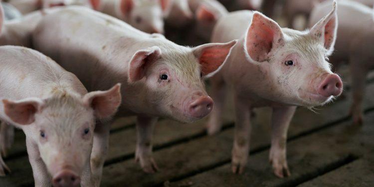 Corazones de cerdos podrían ser trasplantados a humanos en tres años